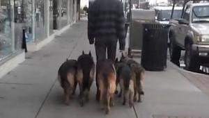 Hij liet 5 herdershonden uit zonder lijn. Bekijk hoe ver hij kwam