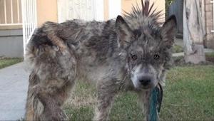 Een dierenarts heeft een uitgehongerde hond gered. Maar…