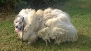 Achter de deur van een schuur vonden ze een bange hond. Toen ze 15 kg vacht van