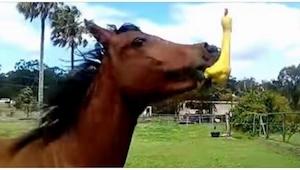 Een paard ontving als cadeau een rubber eendje. Zijn reactie op 0:17 is zo grapp