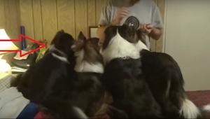 Wat de eerste hond van links doet is ongelooflijk brutaal maar ook heel geniepig