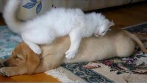 20 katten die vinden dat een hond het beste kussen is. Nummer 18 is geweldig!