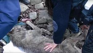 Deze wolf zat roerloos aan de rivier. De reden zorgt voor tranen...