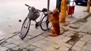 Een hond bewaakt de fiets van zijn baasje. Wacht tot je ziet wat er gebeurt na 4