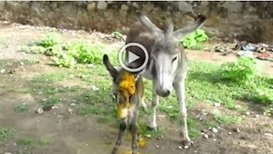 Een ezelin schreeuwt om hulp om haar gewonde jong te redden. Wat er even later g