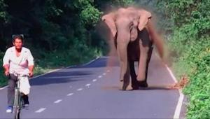 Een olifant jaagt een fietser achterna, maar wacht tot je ziet waarom. Ongelofel
