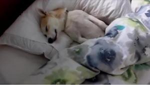 Een hond wilde per se niet naar de dierenarts dus deed hij alsof hij sliep. Zijn