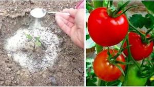 Uiteindelijk verklapte hij me 4 trucjes voor heerlijke tomaten... in grote hoeve