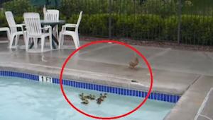 Er waren eendjes vast komen te zitten in het zwembad en hun moeder keek machtelo