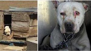 Een hond moest 2 jaar aan een ketting blijven terwijl zijn baasje in de gevangen