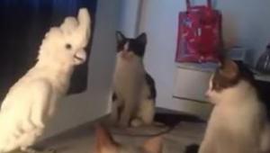 Een papegaai doet alsof hij een kat is en de echte katjes weten niet hoe ze zich