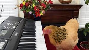 Dit is geen gewone kip. Deze getalenteerde vogel .... speelt de piano!
