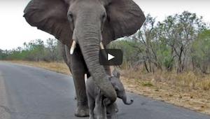 Een olifantje wil een groep toeristen benaderen, maar dan doet zijn moeder DIT!