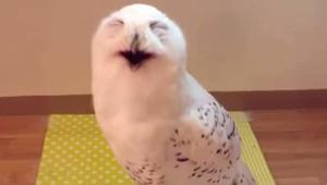 Heb je ooit een lachende uil gezien? Deze video zorgt voor een lach op je gezich