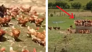 Een boer filmt zijn kippen als de poorten geopend worden - wat ze doen is geweld