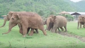 De olifanten gaan de nieuwe gast begroeten. Ze hebben zo'n haast, je hart smelt
