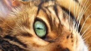 Het is geen tijger, maar een van de mooiste katten ter wereld!