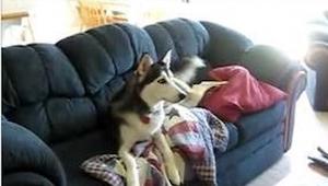 Husky is verslaafd aan tv kijken . Kijk wat er gebeurt als zijn eigenaar hem vra