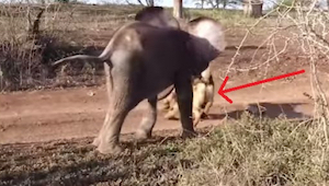 Een olifant werd achtergelaten door zijn familie en viel in depressie - tot hij