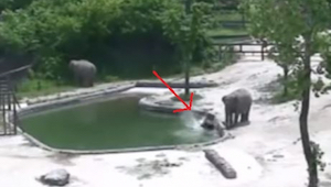 De kleine olifant viel in het water en begon te verdrinken. De reactie van volwa