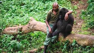 Deze parkmedewerker nadert een gebroken gorilla die zijn moeder verloor - zijn r