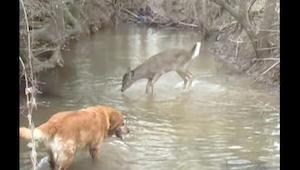Een hond ontmoet hert in het bos. Haar reactie gaf de eigenaar van de viervoeter