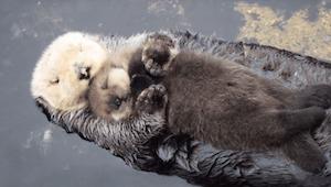 Deze pas geboren otter valt  in slaap op de buik van zijn mama terwijl ze aan he
