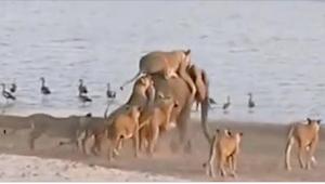 14 leeuwinnen vallen het dier aandie 6000 kg weegt. Wat gebeurde toen het in het