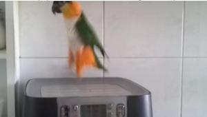 De papegaai luistert naar muziek. Maar wat hij doet na enkele seconden van de op