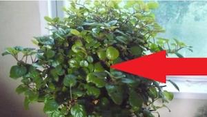 Met deze plant kan je weer met makkelijk ademen! Of misschien heb je het al thui