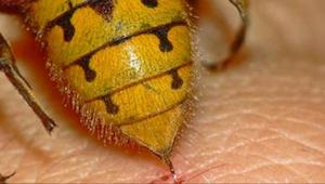 Wespen worden agressiever! Zet een van deze dingen in de tuin of op het terras e