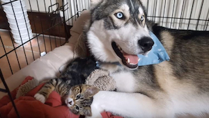 Husky is bang om alleen thuis te blijven. Als zijn eigenaars een kleine kat adop