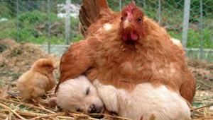 9 foto's die bewijzen dat kippen de beste moeders zijn in het dierenrijk.