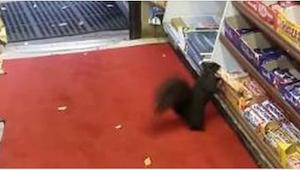 Eekhoorn sluipt de winkel in om zijn favoriete snoep te stelen!