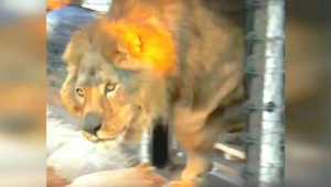 Een leeuw zat zijn ganse leven in een kooi. Bekijk hier hoe hij reageert op gras