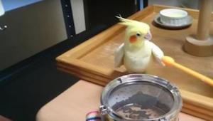 Deze papegaai heeft ambities als drummer. Kijk maar wat hij doet wanneer een dru