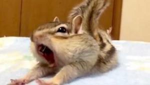 De eekhoorn wordt gek in schone lakens. Deze video veroverde het internet en is