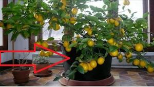 Toen ik een citroenboom in het huis van mijn vriend zag, wou ik onmiddellijk het