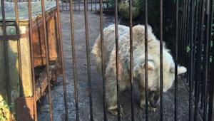 De beer bracht 30 jaar in een kooi door. Zijn reactie, toen hij zijn vrijheid he