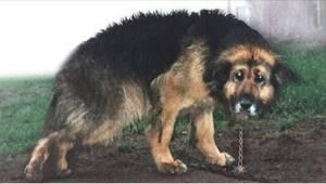 Een zieke hond zat 10 jaar lang vast aan een ketting. Bekijk het bijzondere mome