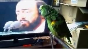 Een papegaai en zijn idool Pavarotti... Zo'n duet heb je nog niet eerder gehoord
