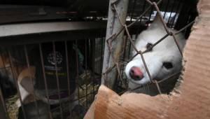 De Koreaanse autoriteiten hebben tevergeefs geprobeerd om de handel in hondenvle