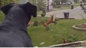 Een jaloers hond kijkt naar een vos die in de tuin met zijn speelgoed speelt. Zi