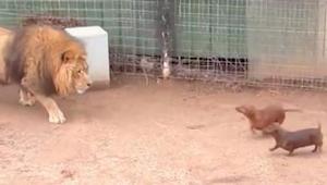 Een relatie tussen een leeuw en een teckel... Deze video heeft al 5 miljoen inte
