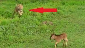 Het ongelooflijke gedrag van een leeuw tegenover een hert,  schokte deskundigen