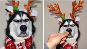Zes foto's van een hond die duidelijk niet van Kerstmis houdt... Deze husky is n