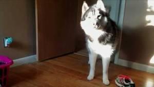 Zoals deze hond reageert op zijn baasje wanneer zij ziet dat ze een schoen mist.