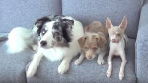 Er zitten drie honden op de bank. Kijk goed wat ze zodadelijk doen.
