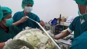Een schildpad werd door een dierenarts geopereerd op de eerste hulp. Wat ze binn