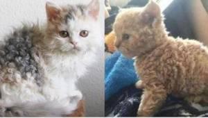 'Kattenpoedels' maken furore op internet! Heb je ooit zo'n kat gezien?